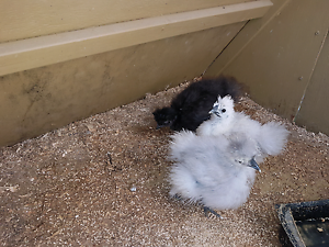 Silkie chicks - unsexed, from blues, black, white pens Windella Maitland Area Preview