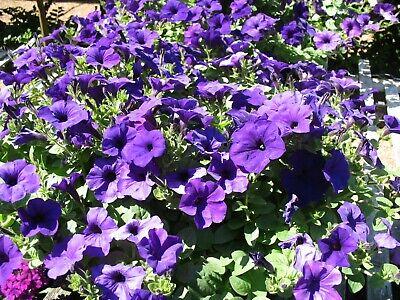 Flower, PETUNIA PURPLE WAVE 10 Seeds BEAUTIFUL FLOWERS -Free Shipping