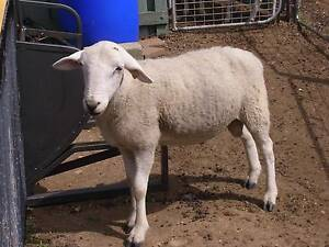 PURE BREED WILTIPOLL SHEEP RAM East Gresford Dungog Area Preview