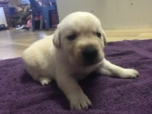 Pedigree Labrador puppies - 1 still available Risdon Vale Clarence Area Preview