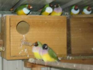 GOULDIAN PAIRS Sunbury Hume Area Preview