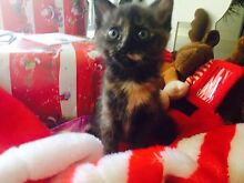 Kitten for sale! Robina Gold Coast South Preview