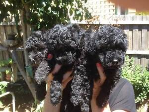 toy poodle puppies Clifton Springs Outer Geelong Preview