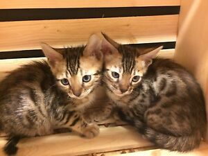 3 bengals ready to meet you