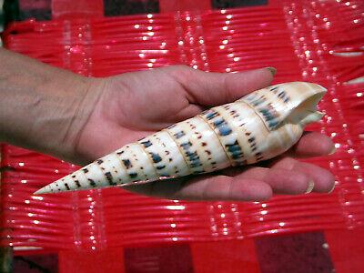 "X Large Marlin Spike Seashell 7"" Terebra Maculata Shell Beach Decor Nautical"
