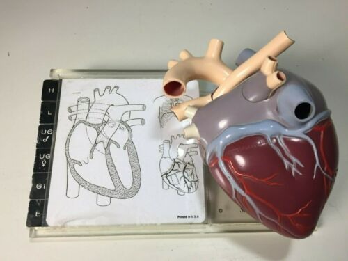 1959 Vintage MEREK Anatomical Heart Model Anatomy Medical Smith Kline Stand