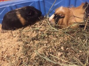 Two tricolour guinea pigs!!