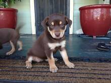 Red and Tan Kelpie Pure Bred Puppies Lockyer Valley Preview