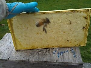 honey bee nucleus colonies