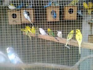 BIRD SALE. Windsor Gardens Port Adelaide Area Preview
