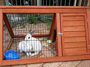 Two Healthy Young Rabbits + Free Hutch Liverpool Liverpool Area Preview