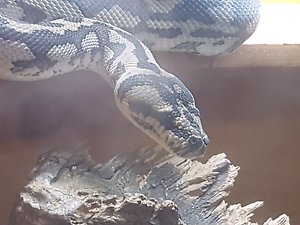 Cape york python and enclosure  for sale Hectorville Campbelltown Area Preview