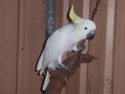 Sulphur Crested Cockatoo Parmelia Kwinana Area Preview