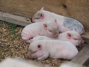 Potbelly Piglets!