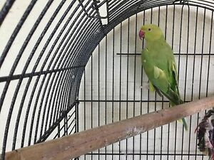 Indian ring neck parrot with cage Coomera Gold Coast North Preview