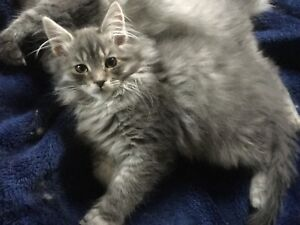 Maine coon kittens months old