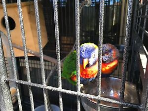 Rainbow lorikeets and patio aviary Thornlie Gosnells Area Preview