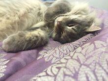Adorable Kitten & Cat for Adoption! Mernda Whittlesea Area Preview