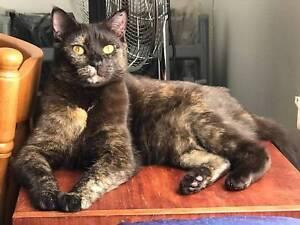 Endora Chocolate Tortoiseshell cat