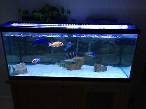Adult Show Male African Cichlids for sale