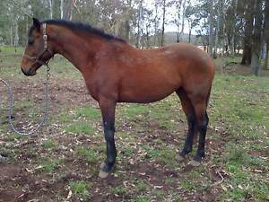 Thoroughbred 3 yr old Colt Mandalong Lake Macquarie Area Preview
