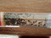 Ant Queen colony Perth Perth City Area Preview