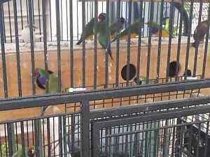 Gouldian Finches for Sale Liverpool Liverpool Area Preview