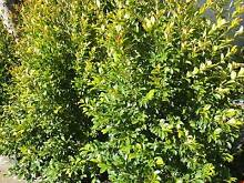 Syzygium lillypilly  Backyard Bliss goodbye neighbour cheap!! Darch Wanneroo Area Preview