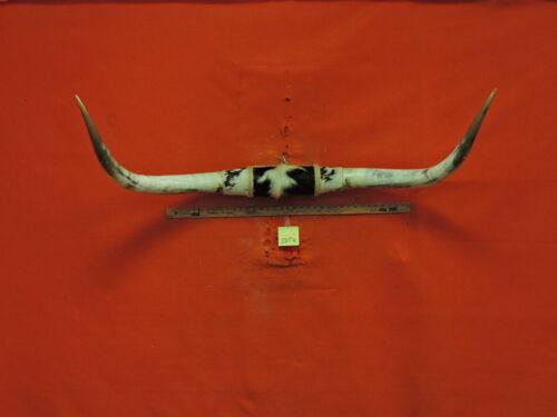 MOUNTED STEER Horns 4 FT 7 IN  MOUNTED  HORNS TEXAS LONGHORN #3856