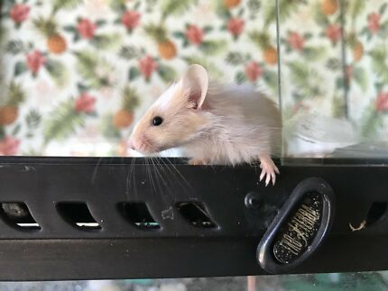 Cute Pet Mice Available Now