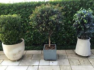 3 PLANTS  IN POTS $ 350 EACH  OR $ 900 ALL THREE Mosman Mosman Area Preview