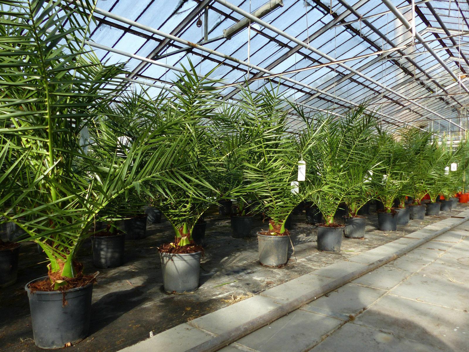 SONDERPREIS: Palme 90 - 120 cm, Phoenix canariensis, kanarische Dattelpalme