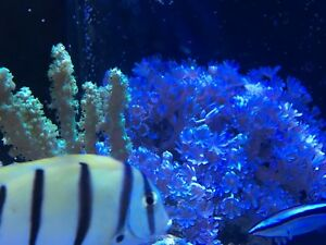 Pulsing Xenia Coral
