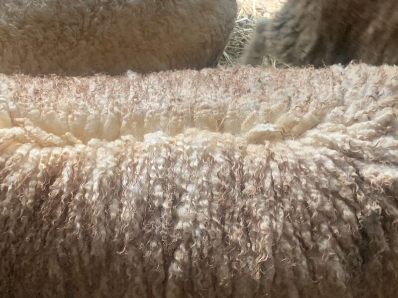 Raw Wool - Border Leicester (Buy The Pound)