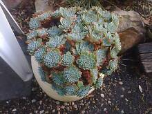 Echeveria Secunda heads at $1 each – pick your own Otago Clarence Area Preview