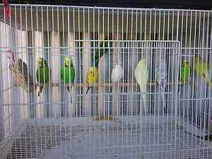 Budgies For Sale Uralla Uralla Area Preview