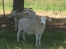 Wiltshire ewes Gulgong Mudgee Area Preview