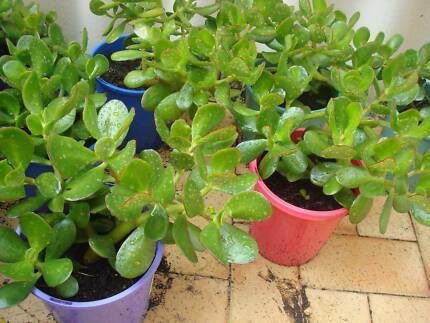 10 POTS OF JADE PLANTS, Inglewood Stirling Area Preview