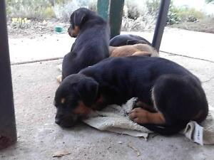 Readvertising due to no shows - Rottweiler X puppies for sale Murray Bridge Murray Bridge Area Preview
