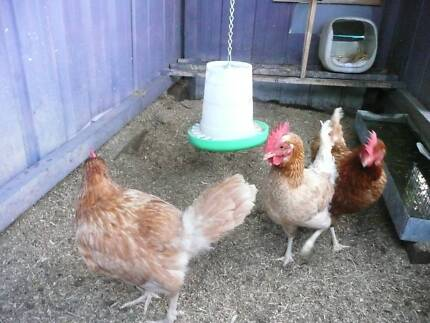 SOLD - Laying hens