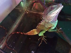 Chinese Water Dragon and tank for sale