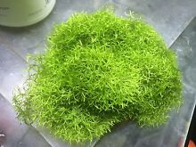 foreground carpet plant moss aquascaping Perth CBD Perth City Preview