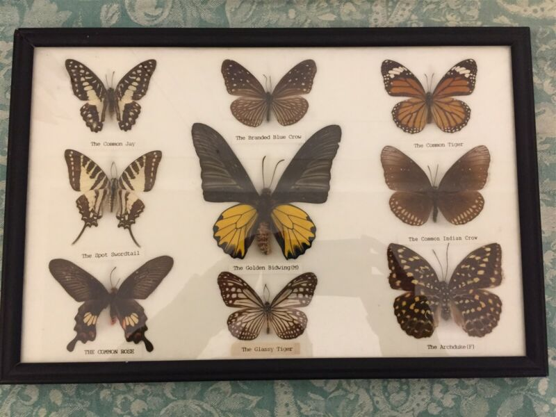 """Framed  Collection 9 Butterfly Real Mounted Specimens 14.25""""  x 9.50"""""""