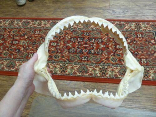 "(sj30-110-3) 15"" BULL SHARK A grade jaw teeth taxidermy love sharks ichthyology"