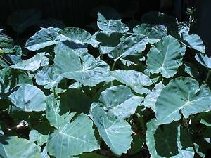 Eatable Elephant Ear plants for sale Mirrabooka Stirling Area Preview
