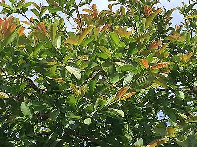 40 Guava Leaves  from S. California Home Garden Organic  Fresh Green Cut  Nature