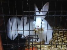 4 white bunnies for sale! Seven Hills Blacktown Area Preview
