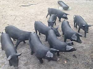 Large Black x Berkshire Pigs for Sale Northcliffe Manjimup Area Preview