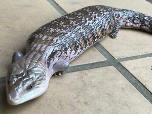 Het White Northern Blue Tongue Lizard - proven breeder.