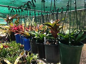MASSIVE PLANT CLEAR OUT PRICES FROM $1 Barellan Point Ipswich City Preview